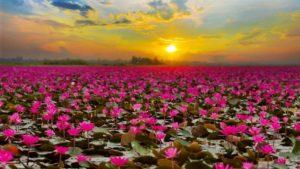 flores-de-lotus